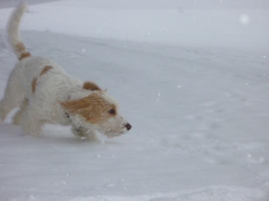 PBGV Hündin Étoile in ihrem ersten Schnee