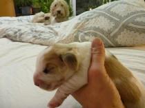 Petit Basset Griffon Vendeen Welpen (Rüde) nach Geburt