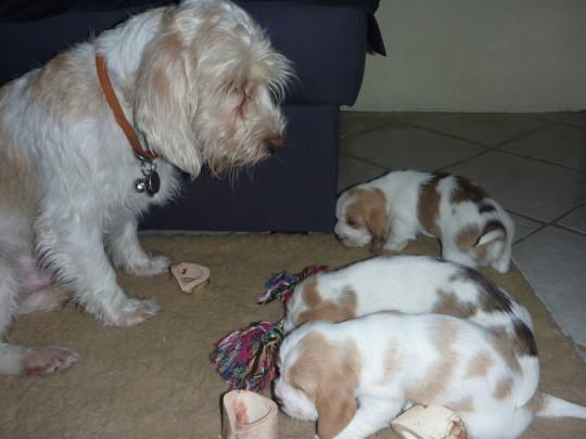 Unser Deckrüde Clark mit seinen Babies aus dem A-Wurf unserer Petit Basset Griffon Vendeen Hündin Étoile