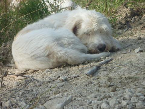 PBGV Zuchthündin Dolly beim Schlafen