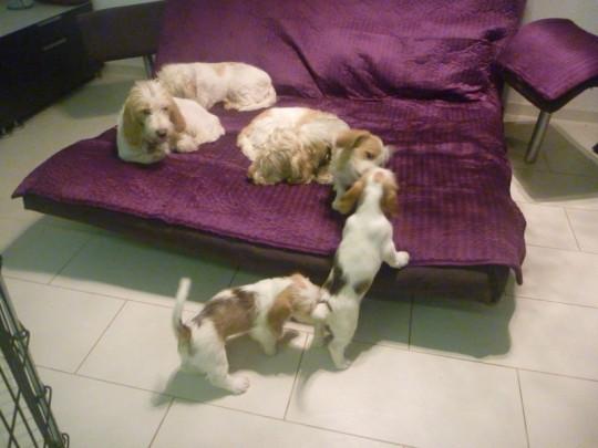 Petit Basset Griffon Vendeen Welpen beim Spielen im Wohnzimmer