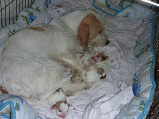 Petit Basset Griffon Vendeen Welpen mit ihrer Mutter Etoile