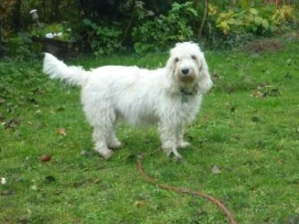 Trächtige Petit Basset Griffon Vendéen Hundin Dolly im Monat des Wurfs