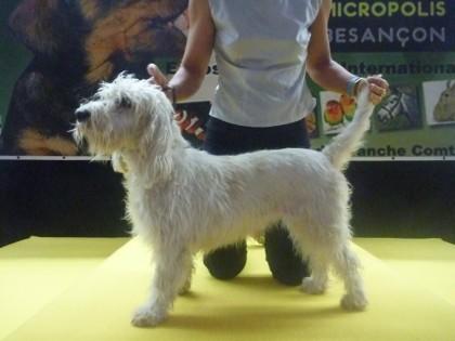 Petit Basset Griffon Vendeen Hündin Dolly auf der Ausstellung in Besancon (CACIB)