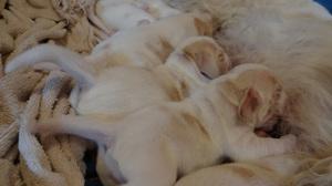 5 Tage alte Puppies beim Trinken