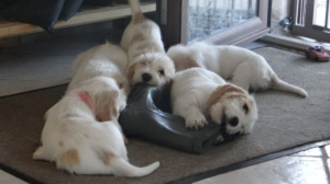 Puppies do not destroy shoes