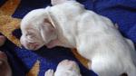 Petit Basset Grifon Vendeen Puppies beim Schlafen