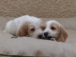 Je suis un aventurier (boy) - J'aime (boy) l'ennuie -  PBGV Puppies du Pech de la Ginestelle