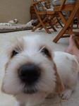 Je saute partout (girl) - Petit Basset Griffon Vendéen Puppies
