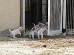 Petit Basset Griffon Vendéen Puppies du Pech de la Ginestelle