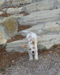 Je reviendrai, boy du Pech de la Ginestelle - PBGV Puppy