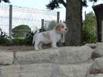 Je saute partout (girl) - Petit Basset Welpen