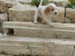 Je saute partout, girl) - PBGV Puppy