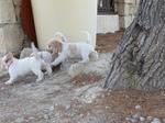 PBGV Puppies