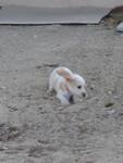 Je saute partout, girl) - Petit Basset Griffon Vendéen Puppy