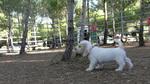 Petit Basset Griffon Vendéen Puppies