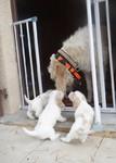 puppy du Pech de la Ginestelle